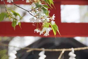 初α7ⅲ!柔らかい春の光にはオールドLeicaが合う Ernst Leitz Wetzlar Elmar 90mm ティンエルマー  in 南新宿、初台付近