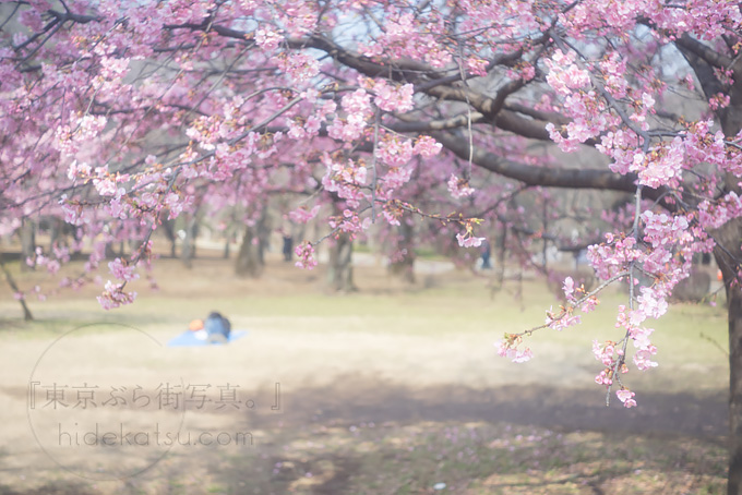 Hexar Konishiroku 50 mm F 3.5 Leica L. Try shooting with early-bloom cherry blossoms!*