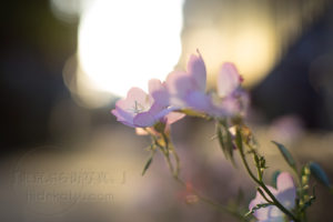 Leica Summilux 50mm F1.4 ASPH. The supreme blur The most delicate and soft line.
